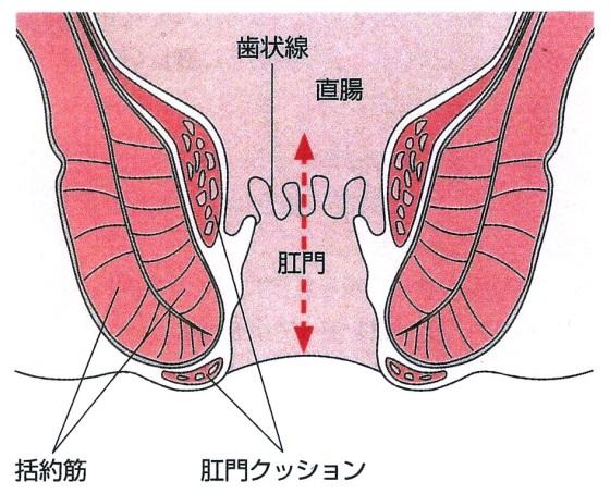 【肛門の構造】※『きょうの健康』より