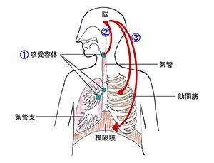 咳の起こり方図